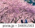 桜 河津桜 花見の写真 34691563