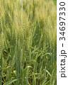 麦畑 麦 畑の写真 34697330