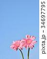 ガーベラ 花 ピンクの写真 34697795