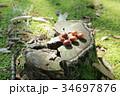 森の子 ドングリ 34697876