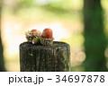 森の子 ドングリ 34697878