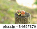 森の子 ドングリ 34697879