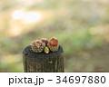 森の子 ドングリ 34697880