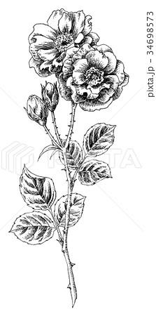 ボールペンで描いたバラの花 34698573