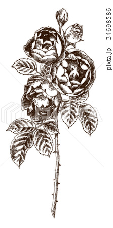 ボールペンで描いたバラの花 34698586