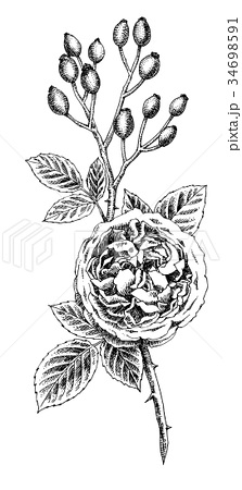 ボールペンで描いたバラの花とローズヒップ 34698591