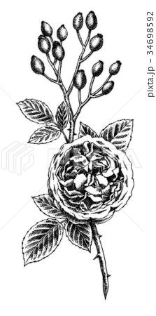 ボールペンで描いたバラの花とローズヒップ 34698592