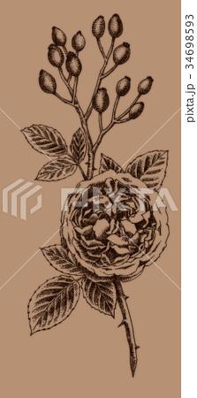 ボールペンで描いたバラの花とローズヒップ 34698593