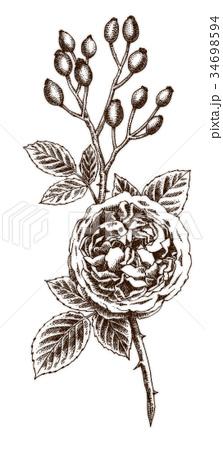 ボールペンで描いたバラの花とローズヒップ 34698594