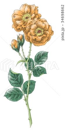 ボールペンで描いた石版画ふうのバラの花 34698662