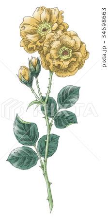 ボールペンで描いた石版画ふうのバラの花 34698663