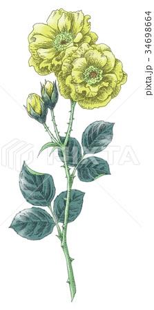 ボールペンで描いた石版画ふうのバラの花 34698664