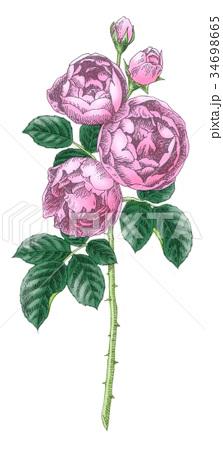 ボールペンで描いた石版画ふうのバラの花 34698665