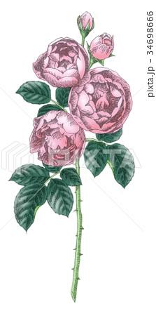 ボールペンで描いた石版画ふうのバラの花 34698666