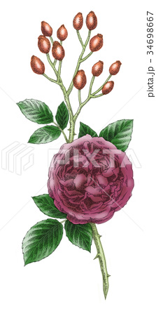 ボールペンで描いた石版画ふうのバラの花 34698667