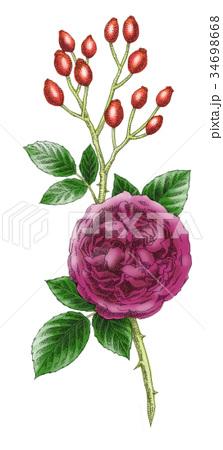 ボールペンで描いた石版画ふうのバラの花 34698668