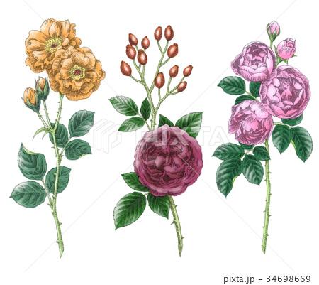 ボールペンで描いた石版画ふうのバラの花 34698669