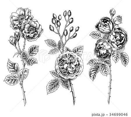 ボールペンで描いたバラの花 34699046