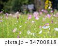ピンク色コスモス 34700818