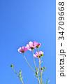 コスモス 秋桜 花の写真 34709668