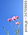 コスモス 秋桜 花の写真 34709669