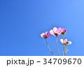 コスモス 秋桜 花の写真 34709670
