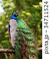 peacock male bird sitting 34711524