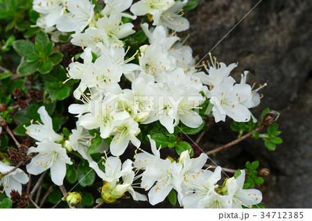 白も美しいミヤマキリシマ 34712385