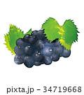 水彩画|秋の味覚のイラスト 葡萄|Grape illustration 34719668
