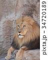 ライオン 34720189