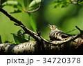 コゲラ 34720378