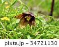 クロユリと花粉を運ぶケブカクロバエ 34721130