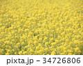 菜の花 菜の花畑 花畑の写真 34726806