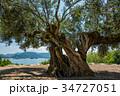 小豆島 樹齢千年のオリーヴ大樹 オリーブの写真 34727051