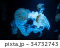 くらげ 水中 海月の写真 34732743