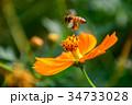 コスモス キバナコスモス ミツバチの写真 34733028