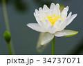 花 白 咲くの写真 34737071