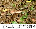 サクラシメジ ヌメリガサ属 天然キノコの写真 34740636