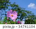 秋晴れ コスモス 花の写真 34741104