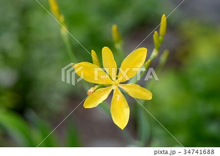 黄色いヒオウギ 34741688