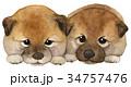 日本犬 子犬 水彩画 34757476