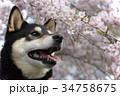 枝垂れ桜と黒柴 34758675