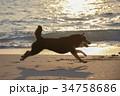 夕陽に駆ける黒柴 34758686