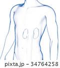 腎臓, 人の内臓 34764258