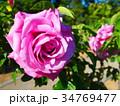 バラ・イメージ(054) 34769477