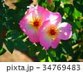 バラ・イメージ(057) 34769483