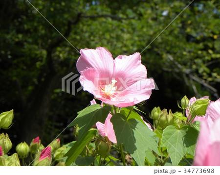 花期の長い花アメリカフヨウの桃色の花 34773698
