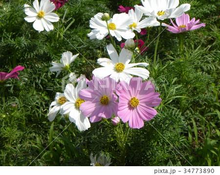 ピンクと白の秋の花コスモスが沢山咲いています 34773890