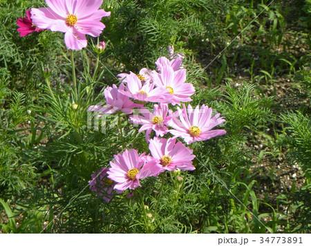 ピンクの秋の花コスモスが沢山咲いています 34773891