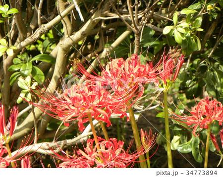 赤いヒガンバナの花 34773894